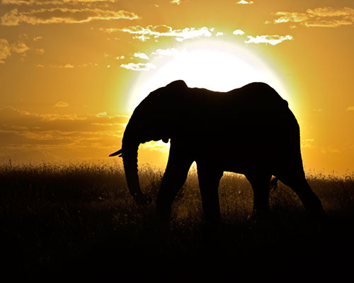 African Elephant (Loxodonta africana) bull silhouetted against setting sun. Masai Mara, Kenya, Africa.