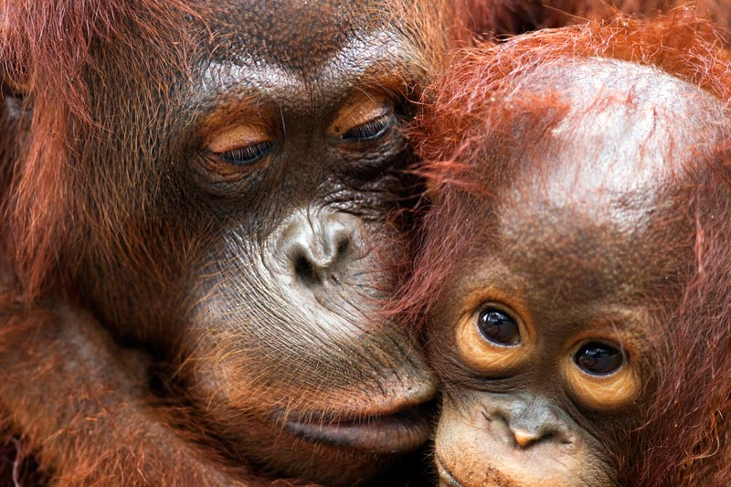 Bornean Orangutan female with her son in Camp Rasak, Lamandau Nature Reserve, Central Kalimantan, Borneo, Indonesia.