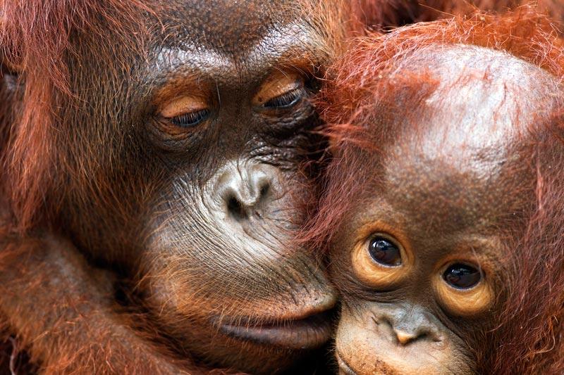 Bornean Orangutan female with her son in Camp Rasak, Lamandau Nature Reserve, Central Kalimantan, Borneo, Indonesia.