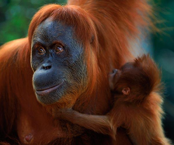 Sumatran orang utan (Pongo abelii) female 'Suma' reunited with male baby 'Forester' Gunung Leuser NP, Sumatra, Indonesia
