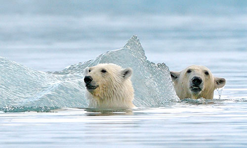 Polar Bear (Ursus arctos maritimus) mother and two cubs playing around iceberg. Svalbard, Norway, Europe, February.