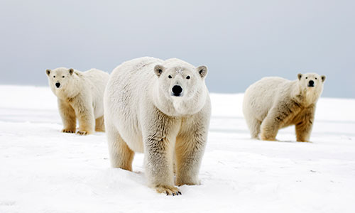 Polar bear female with cubs along a barrier island during fall freeze up, Barter Island