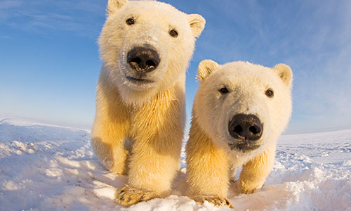 Two curious young Polar bears, Barter Island, off the 1002 area of the Arctic National Wildlife Refuge, North Slope of the Brooks Range, Alaska