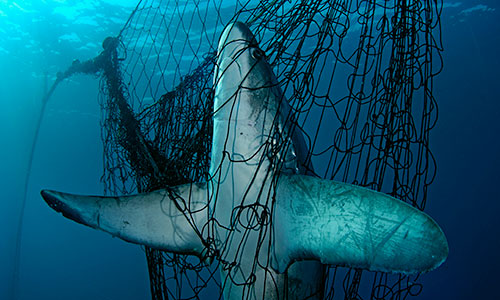 A Thresher shark (Alopias vulpinus) is fatally caught in a fishing net, Mexico.