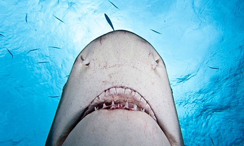 Lemon shark (Negaprion brevirostris) viewed from below. West End, Grand Bahamas, Caribbean.